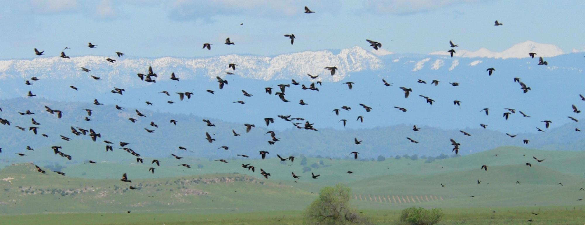 A flock of Tricolored Blackbirds flying over California meadows with the Sierra mountain range in the background