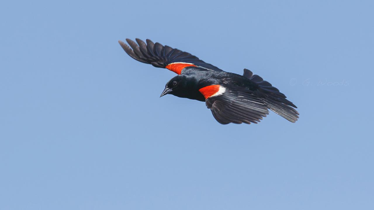 tricolored blackbird male in flight