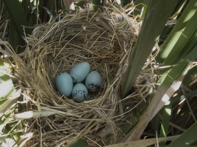 four eggs in a nest in cattails
